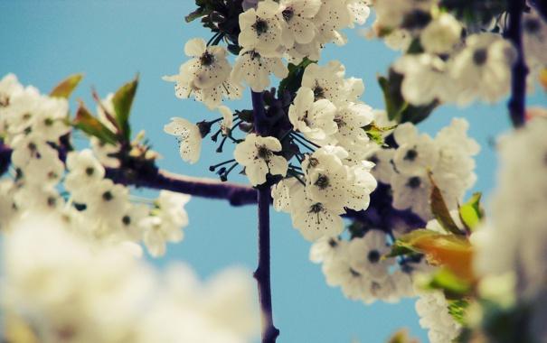 Фото обои небо, деревья, цветы, вишня, ветви, весна, лепестки