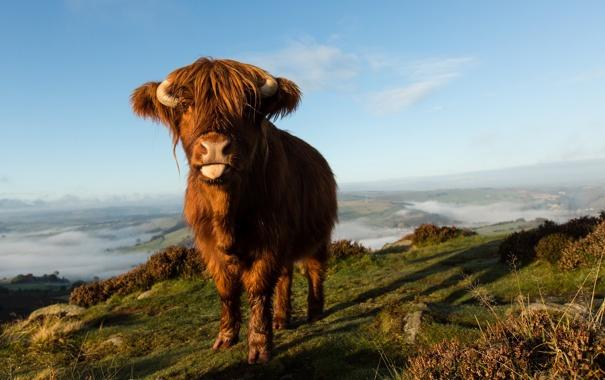 Фото обои природа, фон, корова