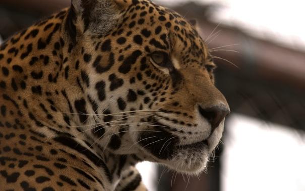 Фото обои морда, хищник, ягуар, дикая кошка