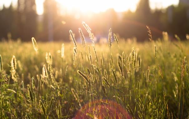 Фото обои поле, трава, солнце