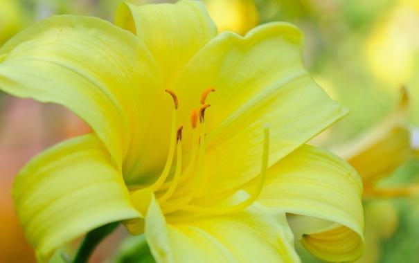 Фото обои цветок, макро, желтый, лилия