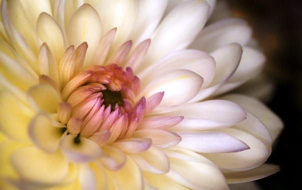 Фото обои цветок, макро, лепестки, белая, хризантема
