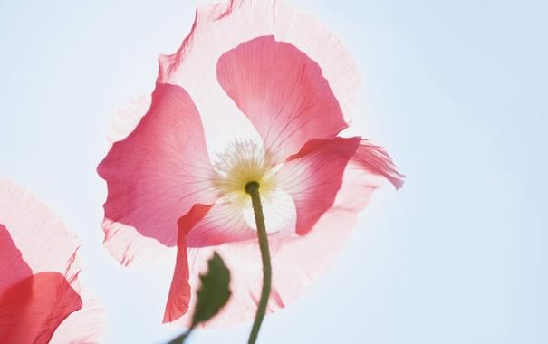Фото обои цветок, макро, свет, мак, лепестки, воздух