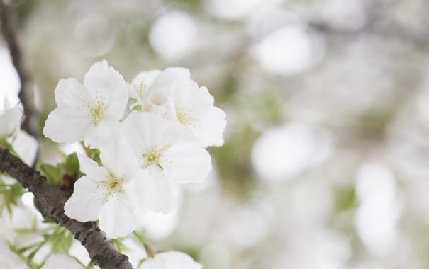Фото обои белый, цветок, нежность, красота, весна, цветение