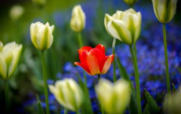 Фото обои лепестки, сад, стебель, тюльпаны, клумба