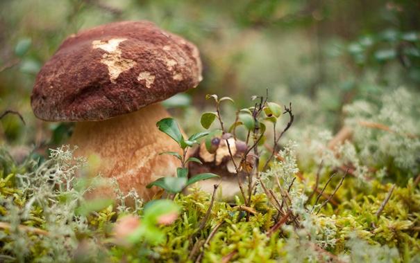 Фото обои лес, гриб, Большой, боровик