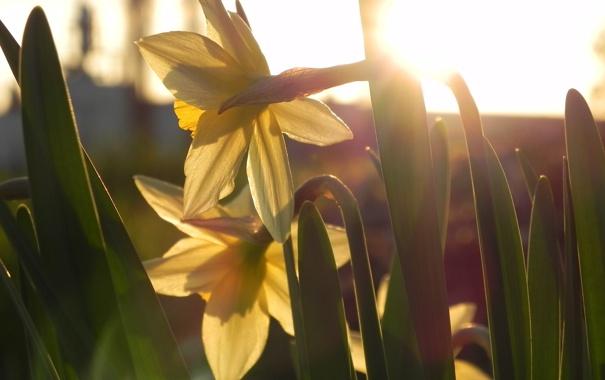 Фото обои цветы, желтые, нарциссы