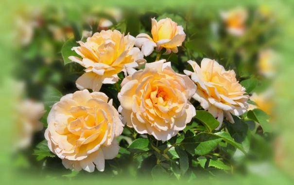 Фото обои цветы, розы, лепестки, размытость, бутоны, жёлтые