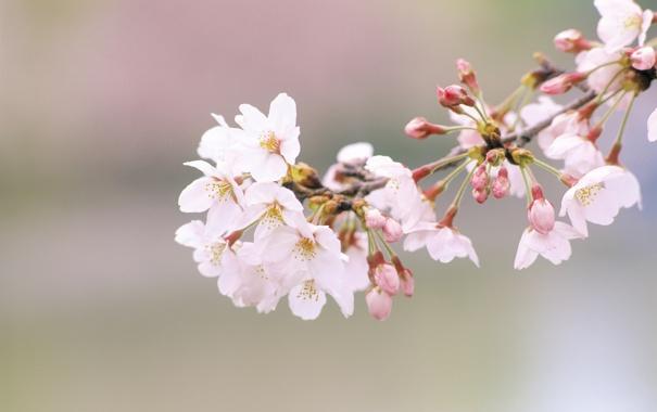 Фото обои цветы, природа, вишня, ветка, весна, лепестки, сакура