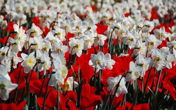 Фото обои поле, белый, цветы, красный, природа, тюльпаны, нарциссы