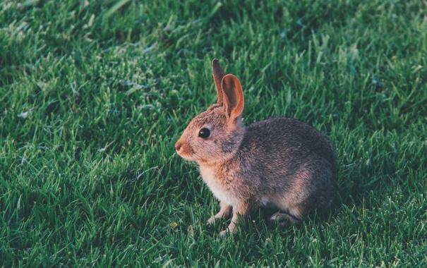 Фото обои трава, шерсть, кролик, ушки