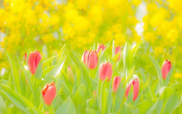 Фото обои Цветы, Тюльпаны, Розовый, Жёлтый, Зелёный
