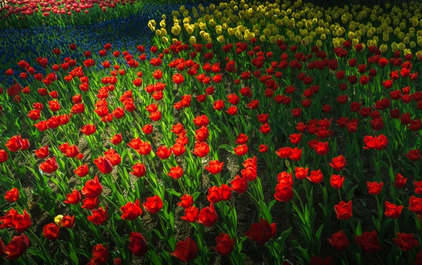 Фото обои сад, тюльпаны, парк, клумба, весна