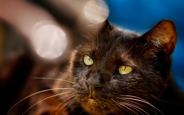 Фото обои кот, блики, черный, мордочка