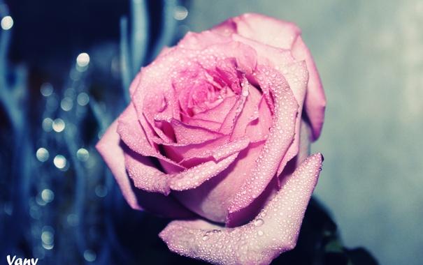 Фото обои капли, цветы, роза
