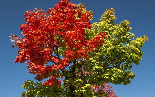 Фото обои осень, небо, листья, ветки, дерево, багрянец