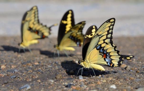 Фото обои природа, Mariposas Amarillas, Yellow Butterflies