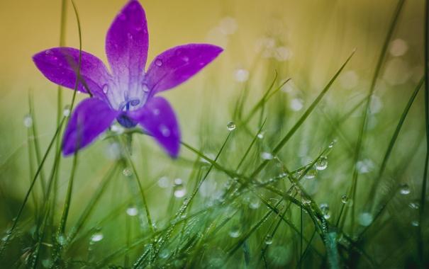 Фото обои цветок, трава, капли, природа, роса, лепестки