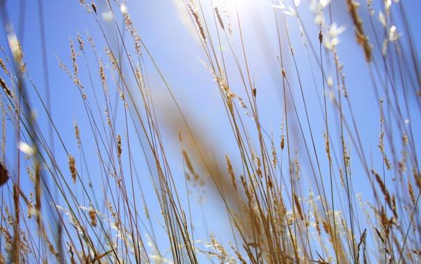 Фото обои поле, небо, трава, фон, стебли, колоски, солнечно