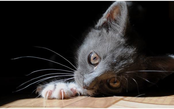 Фото обои кошка, глаза, кот, взгляд, кошки, пол, лежит