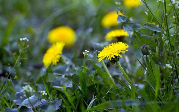Фото обои трава, природа, одуванчик