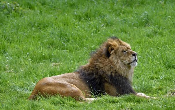 Фото обои кошка, трава, отдых, лев, профиль