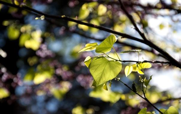 Фото обои природа, листья, ветки, резкость, фокус