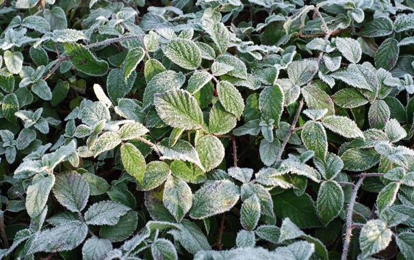 Фото обои растение, утро, заморозки