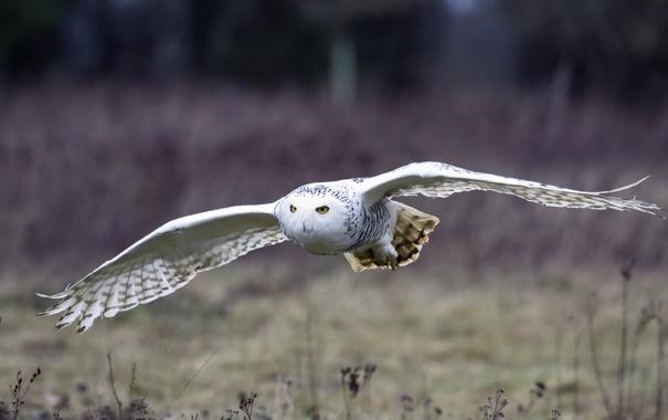 Фото обои полет, птица, крылья, Белая сова