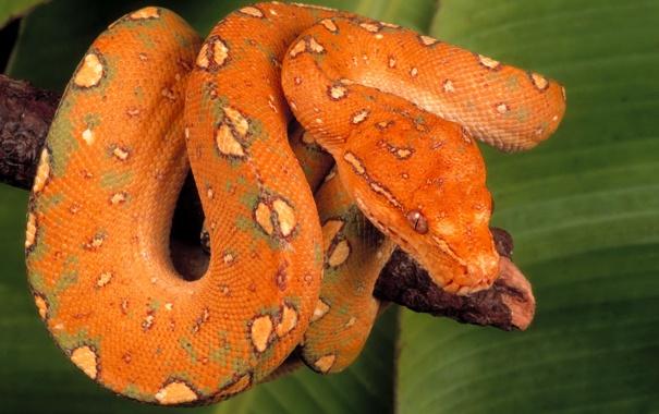 Фото обои змея, ветка, чешуя, окрас, питон