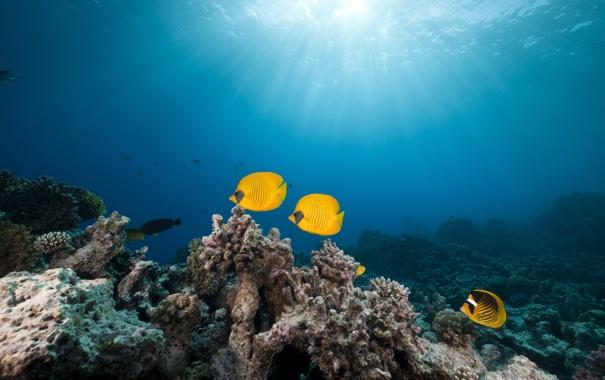 Фото обои Красное море, Red Sea, Маске рыбы-бабочки, Masked butterfly fish, tropical reef, тропические рифы