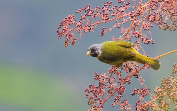 Фото обои желтая, птица, дерево, ветка, ягоды