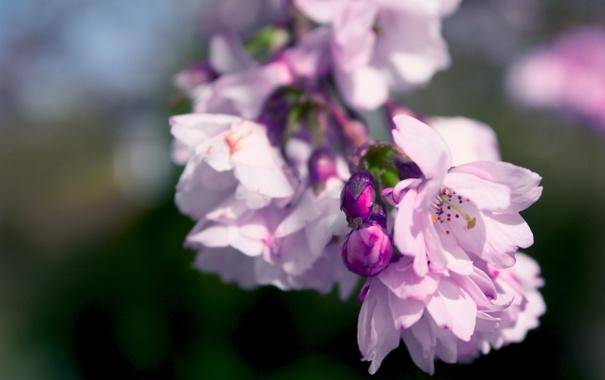 Фото обои цвета, природа, сиреневый, розовый, цвет, красота, ветка