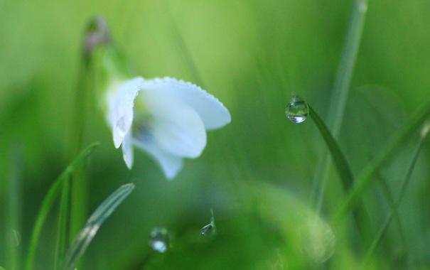 Фото обои травинка, трава, белый, цветок, капля, утро, роса