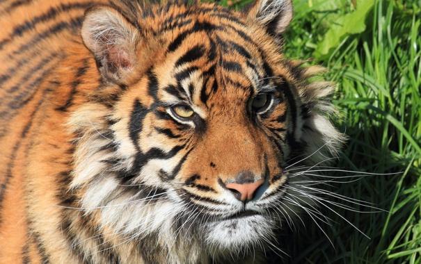 Фото обои кошка, трава, усы, взгляд, морда, тигр, tiger