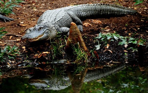 Фото обои вода, отражение, крокодил