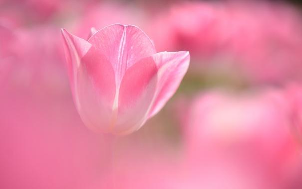 Фото обои цветок, розовый, тюльпан, размытость
