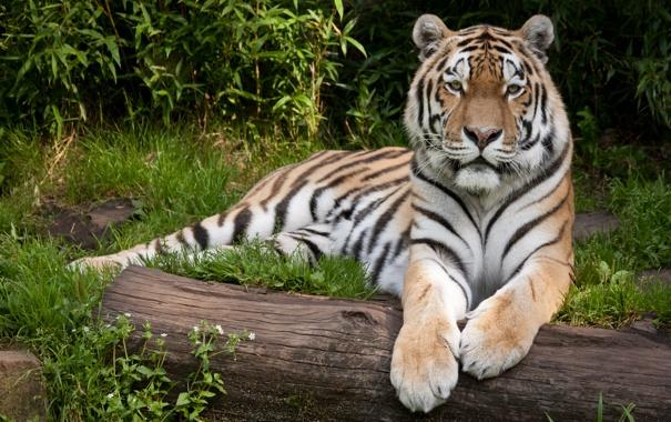Фото обои кошка, трава, тигр, бревно, амурский