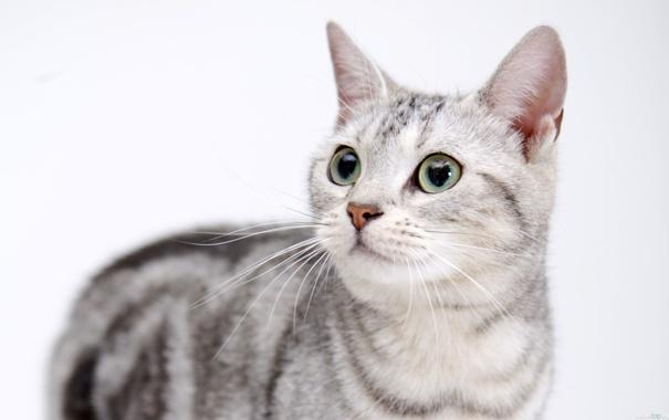 Фото обои кошка, глаза, взгляд, мордочка