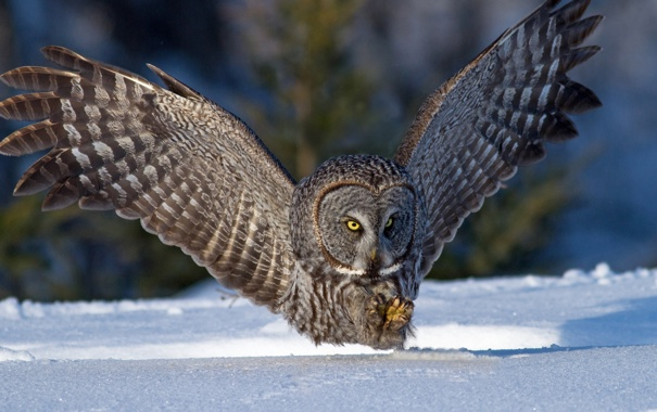 Фото обои зима, снег, сова, птица, крылья, охота