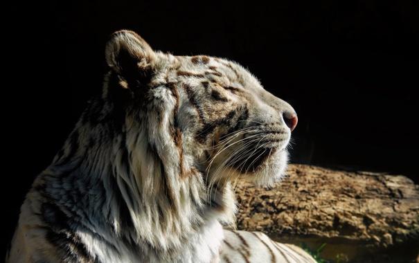 Фото обои морда, темный фон, хищник, профиль, белый тигр, дикая кошка