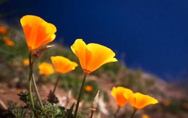 Фото обои море, трава, цветы, маки, лепестки, склон
