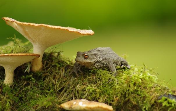 Фото обои природа, грибы, лягушка
