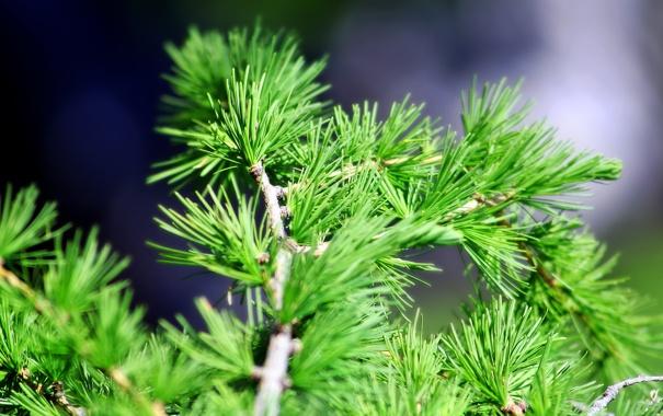 Фото обои ель, хвоя, сосна, кедр, close pine