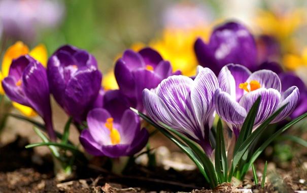 Фото обои цветы, природа, весна, лепестки, крокусы, бутоны, первоцвет