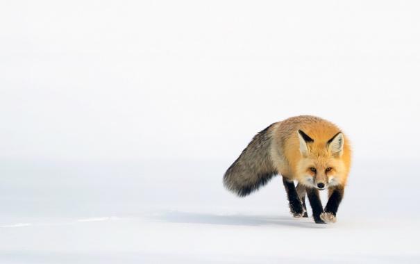 Фото обои снег, лиса, рыжая