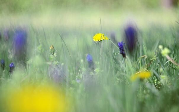 Фото обои цветок, трава, природа, одуванчик, фокус, размытость, боке