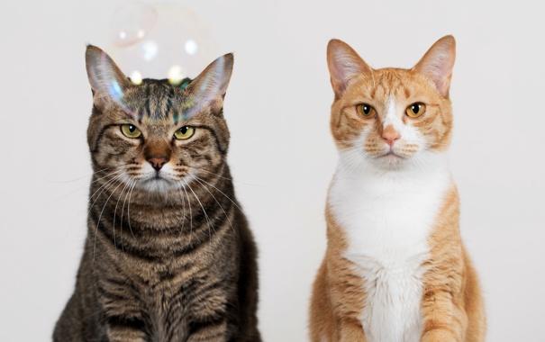 Фото обои взгляд, серый, фон, коты, Кошки, рыжий, двое