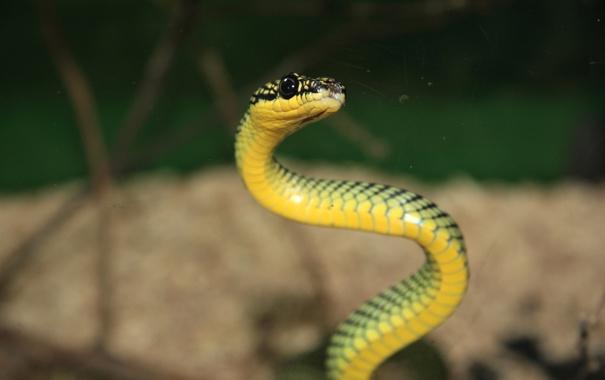 Фото обои глаза, макро, змея, фокус