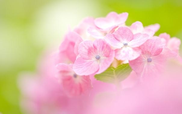 Фото обои цветы, размытость, розовые, гортензия